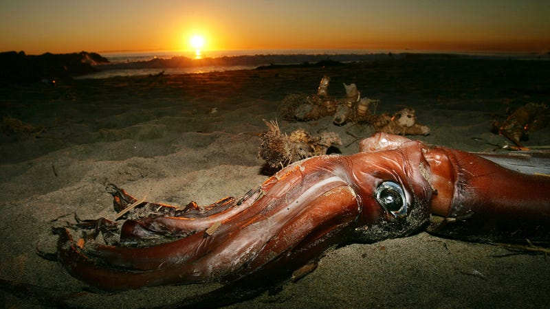 Illustration for article titled Terrifying Giant Squid Caught on Film in the North Pacific