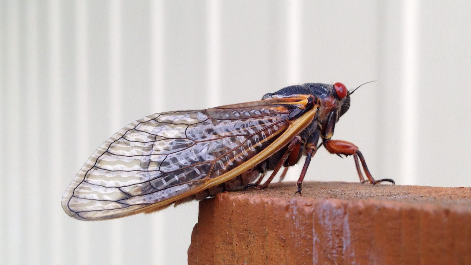 Track Rare Cicadas With The Cicada Safari App
