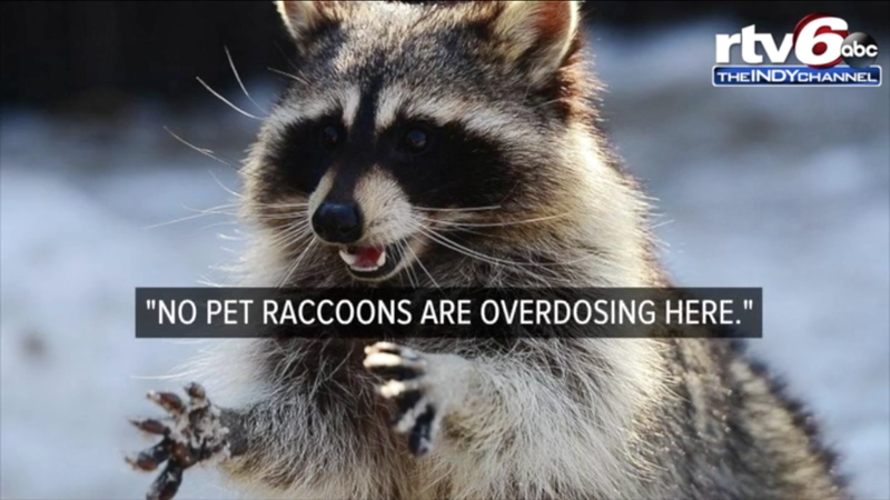 Illustration for article titled Like You, This Too Stoned Raccoon Just Needed to Sleep It Off