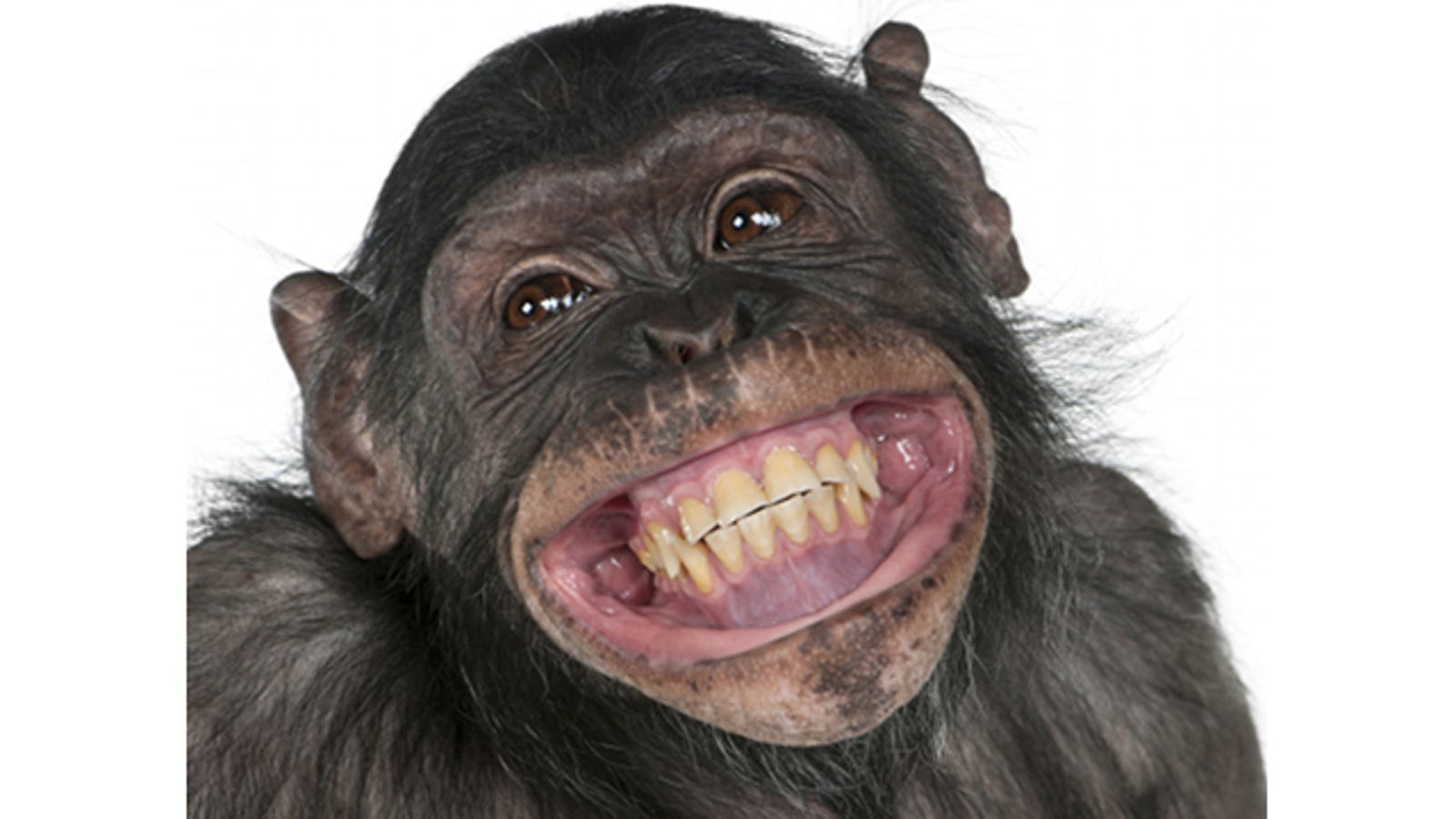 Proven The More Poop A Chimp Throws The Smarter It Is