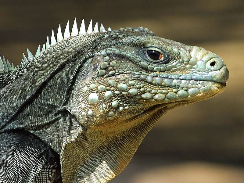 Illustration for article titled Reptiles are smart.  We've just been testing them wrong.