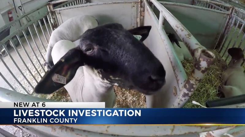 Illustration for article titled Award-Winning Lamb Under Investigation For PEDs