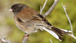 Illustration for article titled Dark-eyed junco birds get angry at subtlety