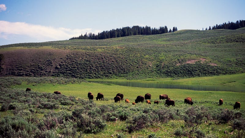 A herd of women grazing in Yellowstone National Park. Image via Getty.