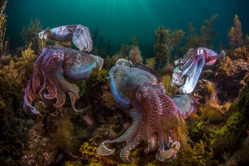 Giant Australian cuttlefish (Sepia apama). Image: Wildlife Photographer Scott Portelli
