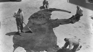 Illustration for article titled Operation Dumbo Drop Gone Terribly Wrong: How to clean a giant elephant skin