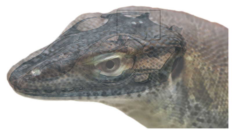 "Artist's depiction of the extinct monitor lizard, with its third and fourth ""eyes,"" or light-sensitive organs, atop its head."