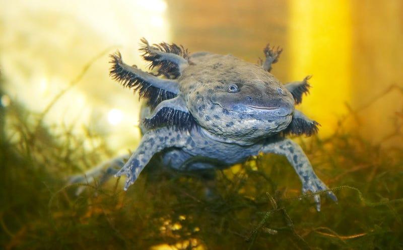 Illustration for article titled ¿Nos enseñarán las salamandras a regenerar miembros perdidos?