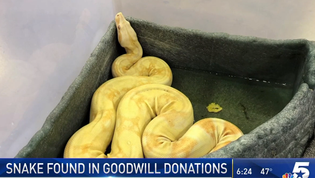 Escaped Boa Constrictor Slithers Its Way Into Goodwill Donations