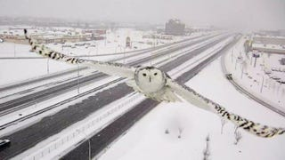 Illustration for article titled A Traffic Camera Captured This Gorgeous Shot of a Snowy Owl in Flight