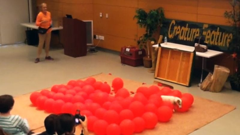 Screenshot: Fastest Time To Pop 100 Balloons By A Dog - Guinness World Records
