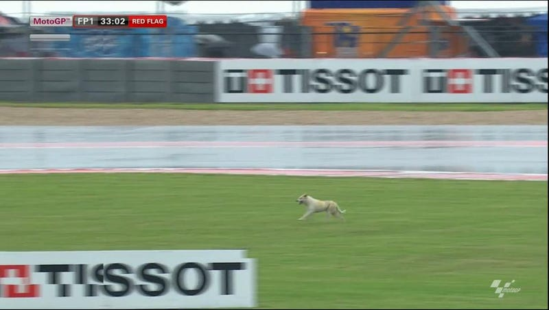 Illustration for article titled A Dog Is Running Around COTA And It Just Red-Flagged MotoGP Practice