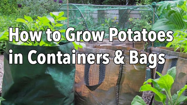 Grow Potatoes In Pots Or Growing Bags