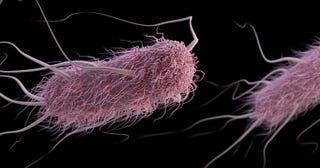 Kólibaktérium (forrás: CDC)
