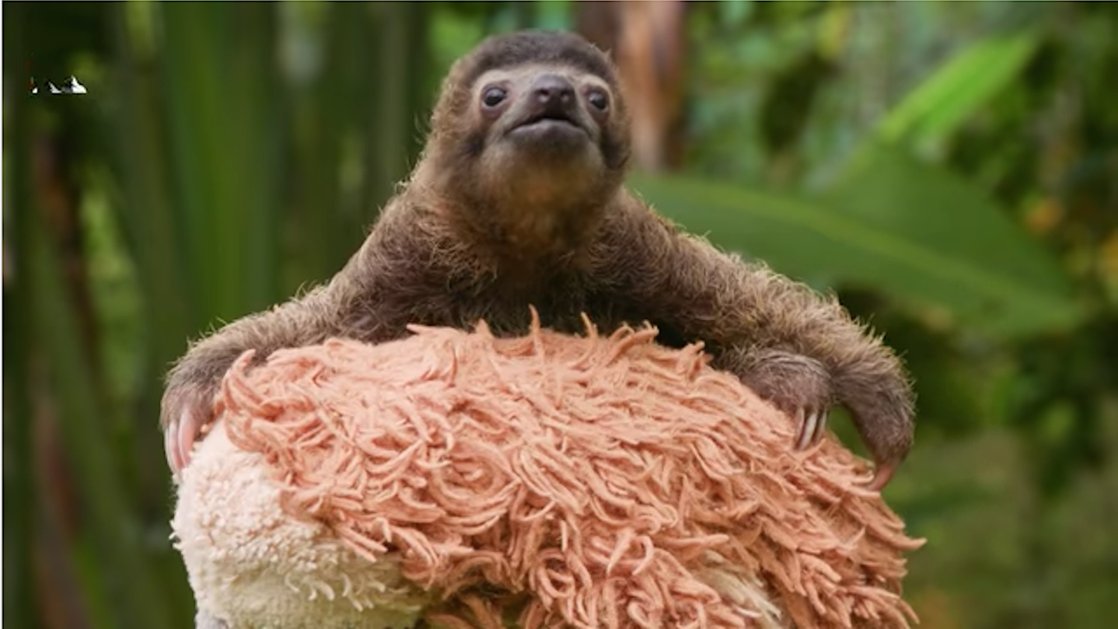 B-rad, the Baby Sloth, Does Not Know the World Is Burning