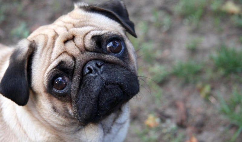 Illustration for article titled Esa mirada irresistible de tu perro evolucionó para conseguir cualquier cosa de ti
