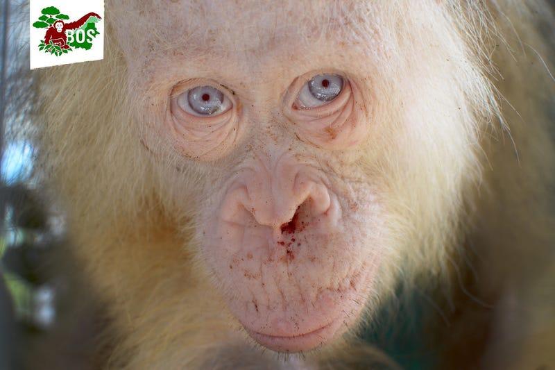 Image: Borneo Orangutan Survival Foundation