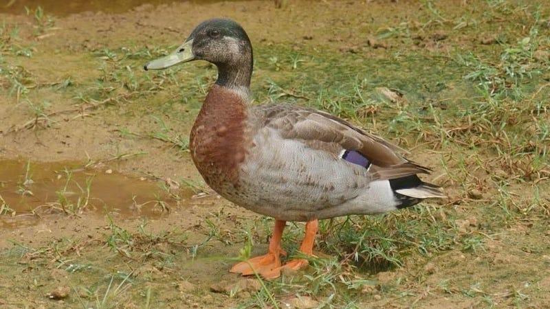 Illustration for article titled Ha muerto Trevor, el pato que llegó a una isla durante una tormenta y vivió el resto de su vida solo