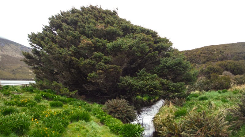 The loneliest tree on the planet, on Campbell Island in the Southern Ocean. Image: Pavla Fenwick