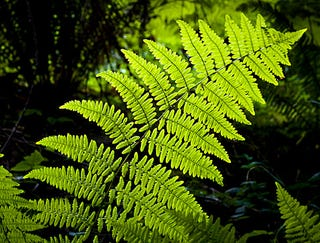 Illustration for article titled Sierra Club Withdraws Support Of Controversial Fern