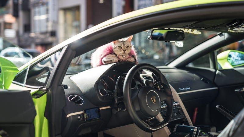 Meet Torako, The Lamborghini Cat In Tokyo