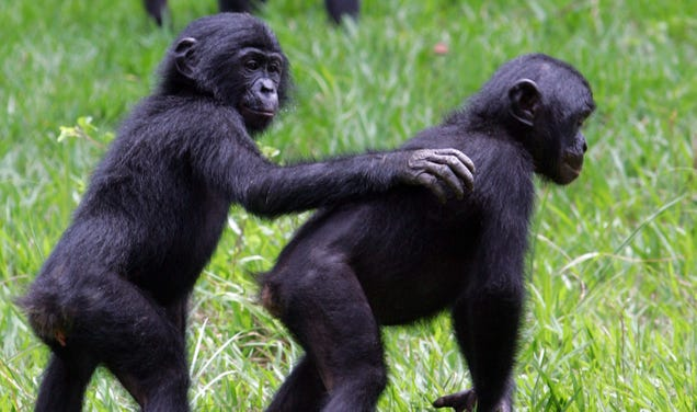 Bonobos Appear to Say  Hello  and  Goodbye  to Each Other