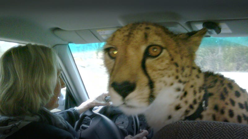 Illustration for article titled Did You Know Cheetahs Ride Shotgun?