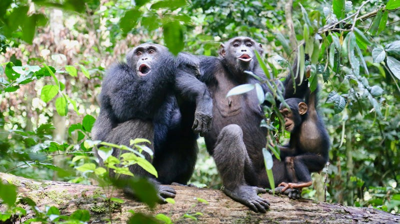 Three chimpanzees, including an infant, in the Taï National Park, Côte d'Ivoire.
