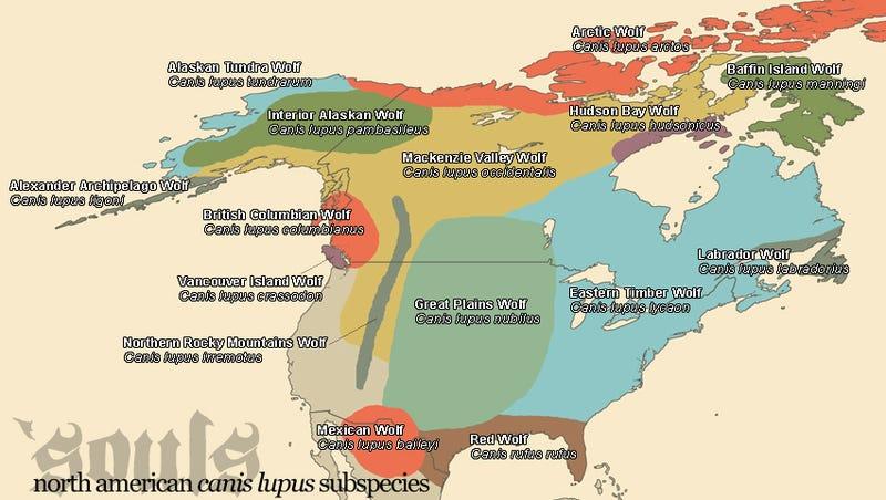 Vargar Och Nordamerika