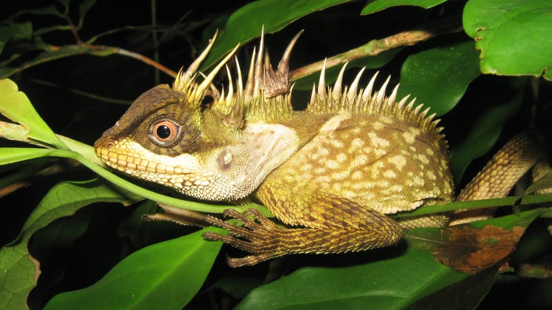 Introducing the Phuket horned tree agamid, a lowland dwelling lizard native to Phuket Island and the Phuket mountain range in Southwest Thailand. This medium-sized lizard is distinct from its mainland relatives based on unique coloration, and the placement and size of its many threatening-looking horns. (Image: Montri Sumontha)