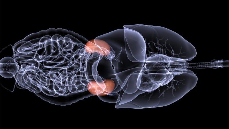 Illustration for article titled A major step towards transplantable lab-grown organs