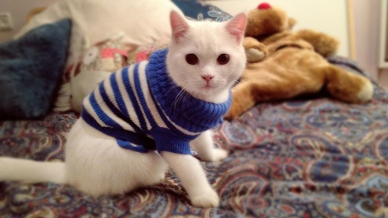 Illustration for article titled Dignified Cat Dressed In Adorable, Painful Sweater