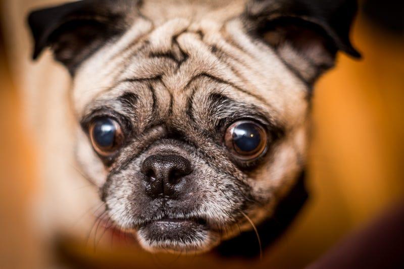 Estos son los perros de diseño más castigados por la selección del hombre