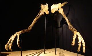 """El dinosaurio de """"brazos"""" gigantes ya tiene cuerpo 50 años después"""