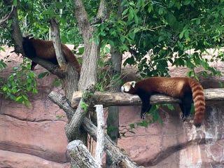 Red Pandas making sleeping on a log look comfortable.