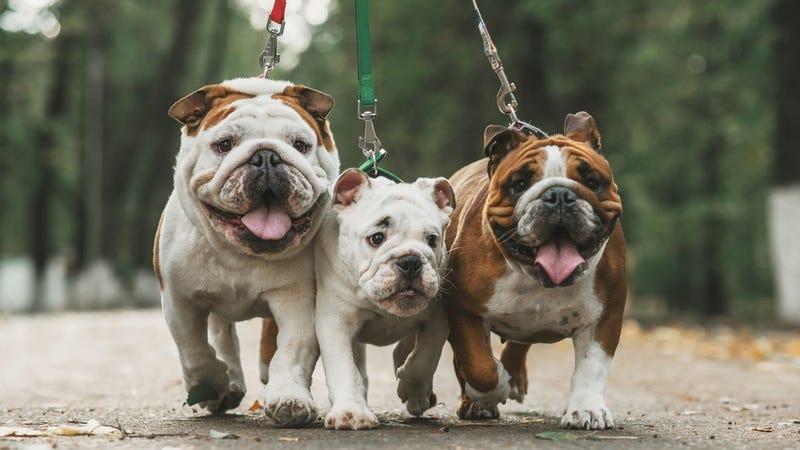 Illustration for article titled La salud del bulldog no mejorará: su genética ha llegado a un punto de no retorno