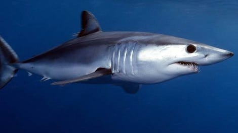 Bull Sharks Are Heading North Thanks to Climate Change