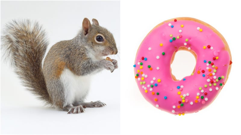 Illustration for article titled Doughnut-nabbing squirrel also ready to steal pizza rat's mantle