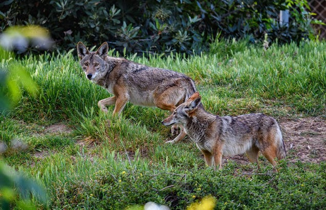 Urban Coyotes Live Off Trash, Fruit, and Cats