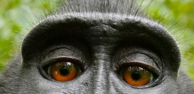 Who Owns Copyright On A Selfie Taken By A Monkey?