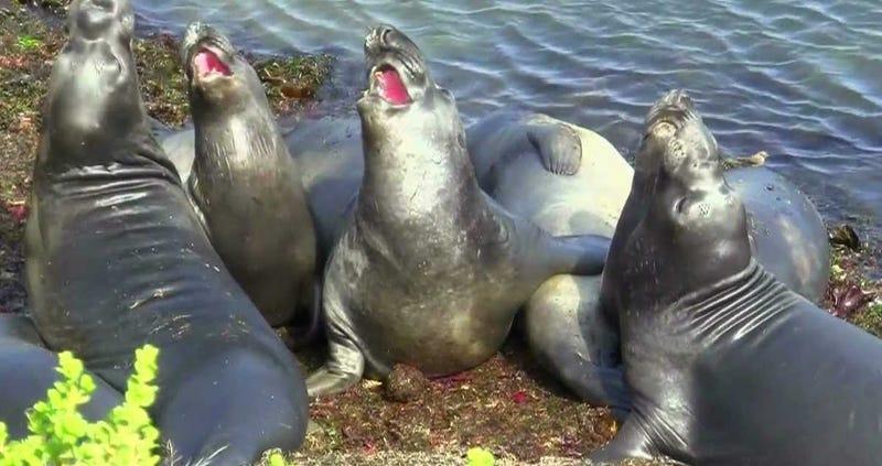 Illustration for article titled Científicos enseñan a un grupo de focas a cantar el tema principal de Star Wars. No sale bien