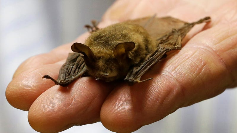 The pipeline threatens habitat for northern long-eared bat.
