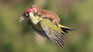 Illustration for article titled Weasel rides Woodpecker