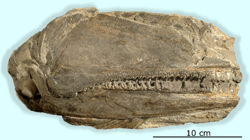 The 26 cm long fossil preserving the right side of the skull of Birgeria americana. Image: University of Zurich