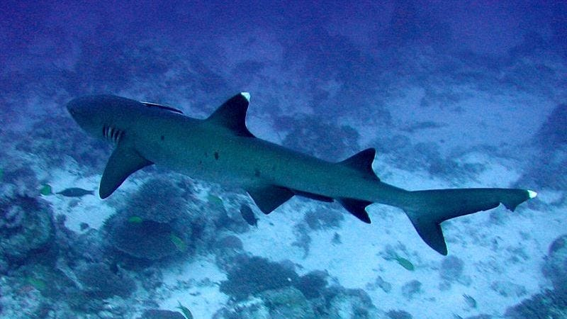 A whitetip reef shark photographed in Osprey Reef, Australia in 2005. Photo: Richard Ling via Wikimedia Commons