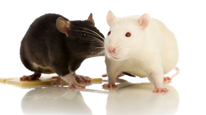 Illustration for article titled Brain Implant Allows Rats to Communicate Telepathically