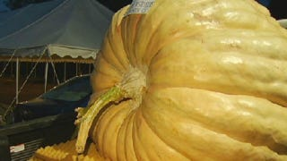 Illustration for article titled This Connecticut State Record-Breaking Pumpkin Grew in Just 2.5 Months