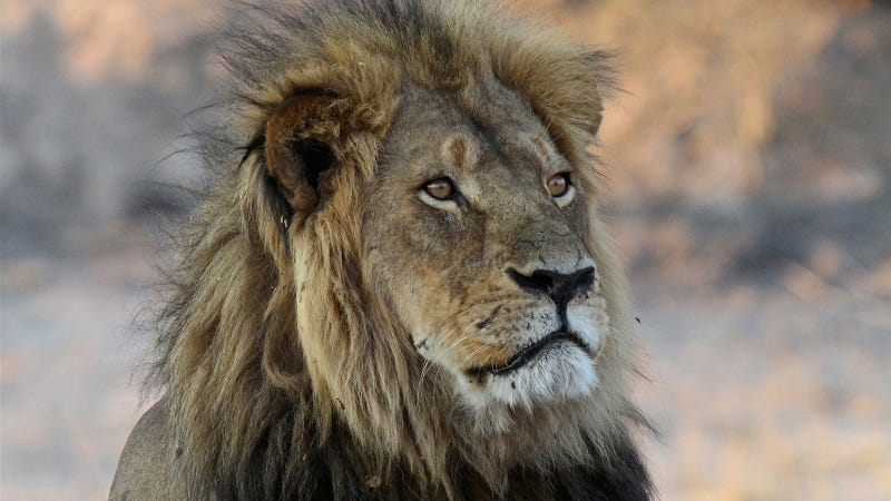 Cecil The Lion In 2013 Image AP