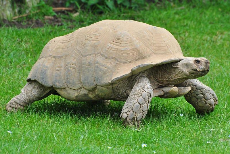 Illustration for article titled Por qué las tortugas pueden llegar a vivir hasta dos siglos
