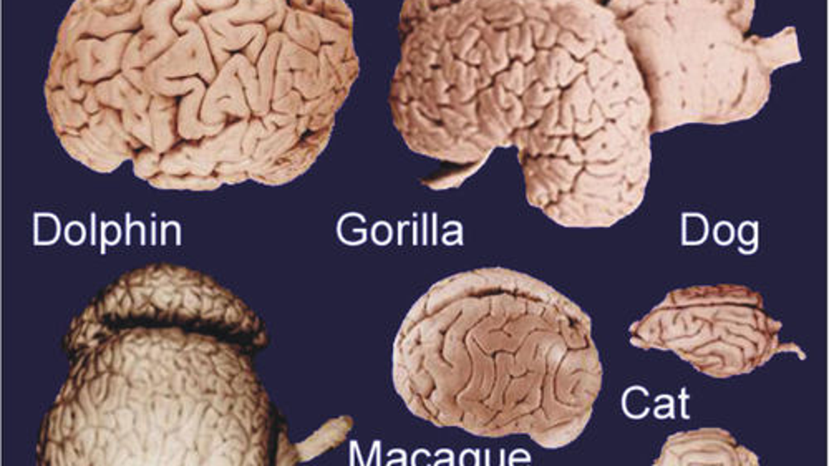 How did brains evolve ccuart Images
